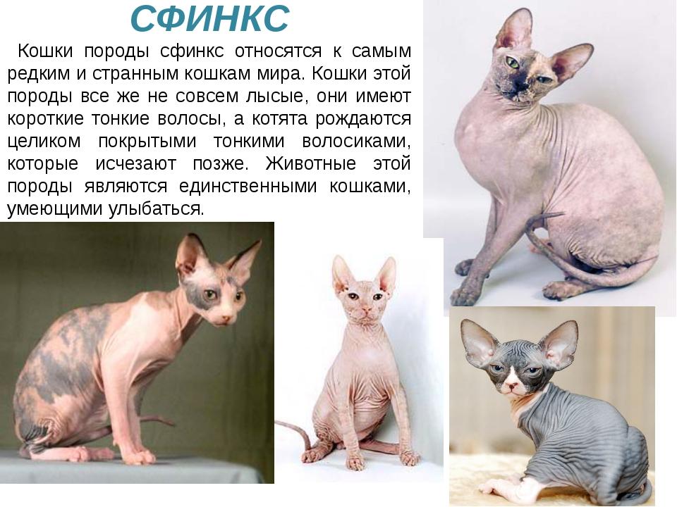 У кошки очень тонкий слух. Она слышит малейший шорох. СФИНКС Кошки породы сф...