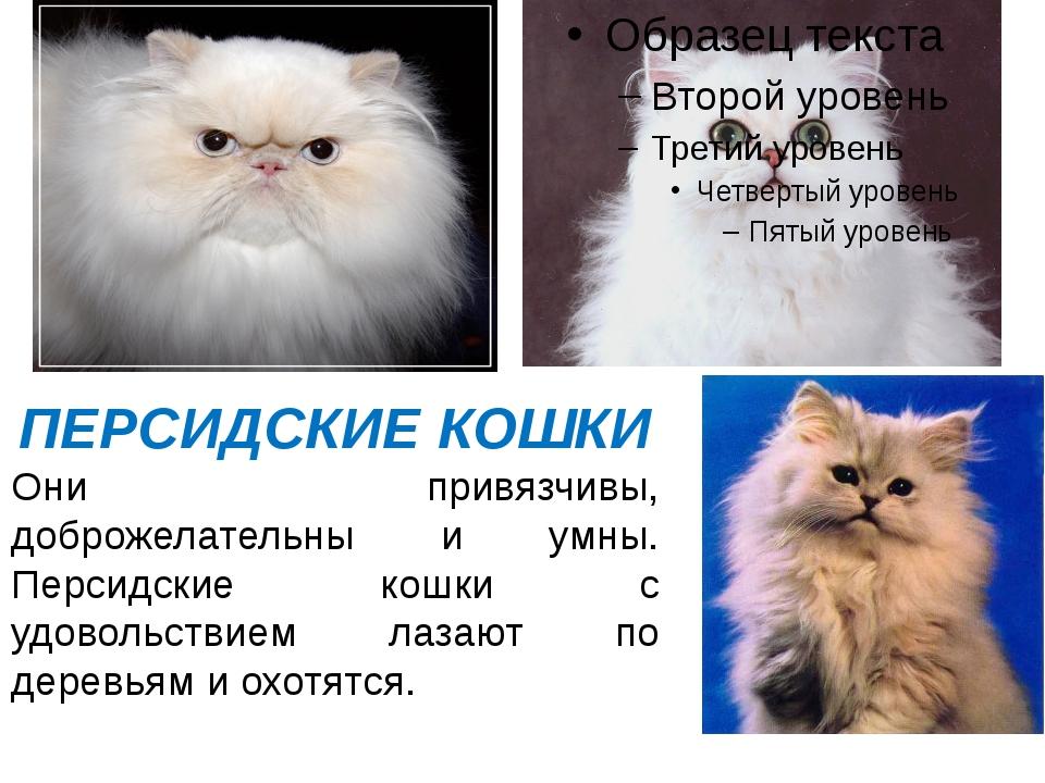 ПЕРСИДСКИЕ КОШКИ Они привязчивы, доброжелательны и умны. Персидские кошки с у...