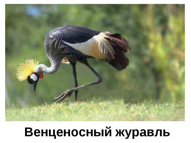 Венценосный журавль
