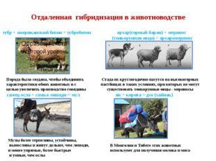 Отдаленная гибридизация в животноводстве зубр + американский бизон = зубробиз