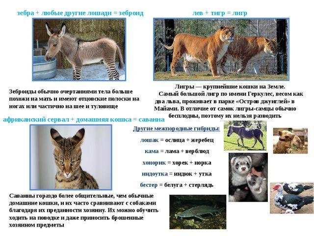 зебра + любые другие лошади = зеброид Зеброиды обычно очертаниями тела больше...