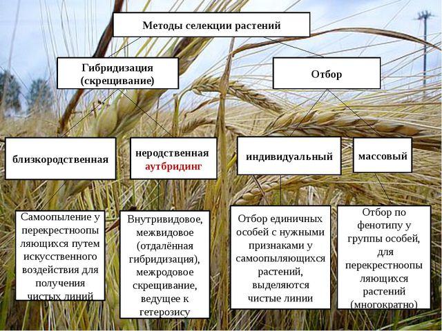 Методы селекции растений Гибридизация (скрещивание) Отбор близкородственная н...