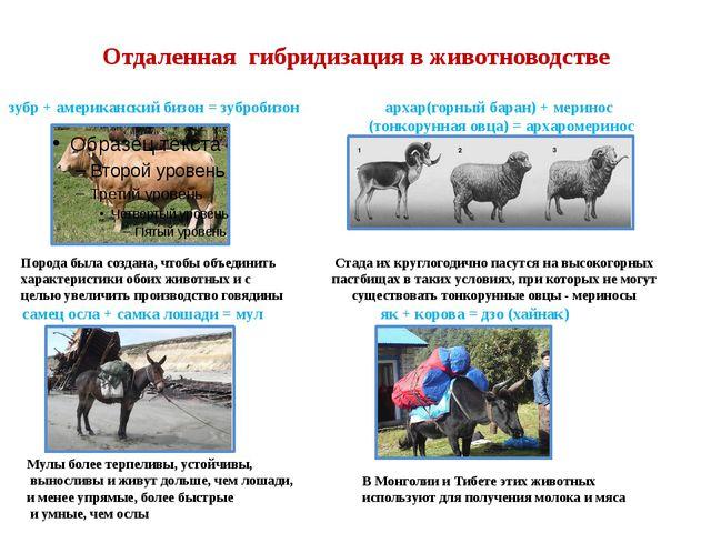 Отдаленная гибридизация в животноводстве зубр + американский бизон = зубробиз...