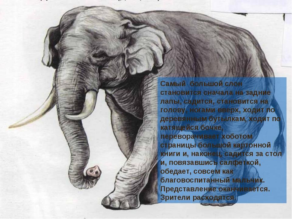 Самый большой слон становится сначала на задние лапы, садится, становится на...