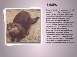 ВЫДРА. Длина ее тела 55—95 см, хвоста — 26 - 55 см, масса — 6 — 10 кг. Это кр
