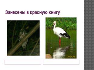 Занесены в красную книгу Иглоногая сова дальневосточный белый аист