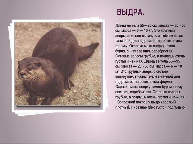 ВЫДРА. Длина ее тела 55—95 см, хвоста — 26 - 55 см, масса — 6 — 10 кг. Это кр...