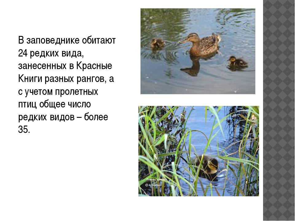 В заповеднике обитают 24 редких вида, занесенных в Красные Книги разных ранго...
