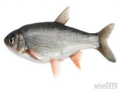 C:\Users\USER\Desktop\fish-against-white-background.jpg