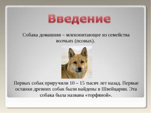 Собака домашняя – млекопитающее из семейства волчьих (псовых). Первых собак п