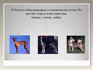 В России собак разводили в основном для охоты. Из русских пород особо известн