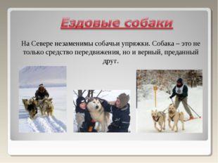 На Севере незаменимы собачьи упряжки. Собака – это не только средство передви