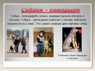 Собак – поводырей слепых, впервые начали обучать в Англии. Собака – проводник
