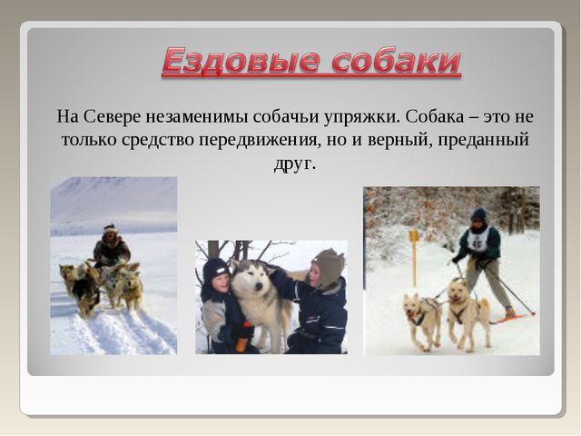На Севере незаменимы собачьи упряжки. Собака – это не только средство передви...