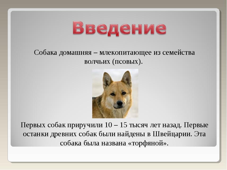 Собака домашняя – млекопитающее из семейства волчьих (псовых). Первых собак п...