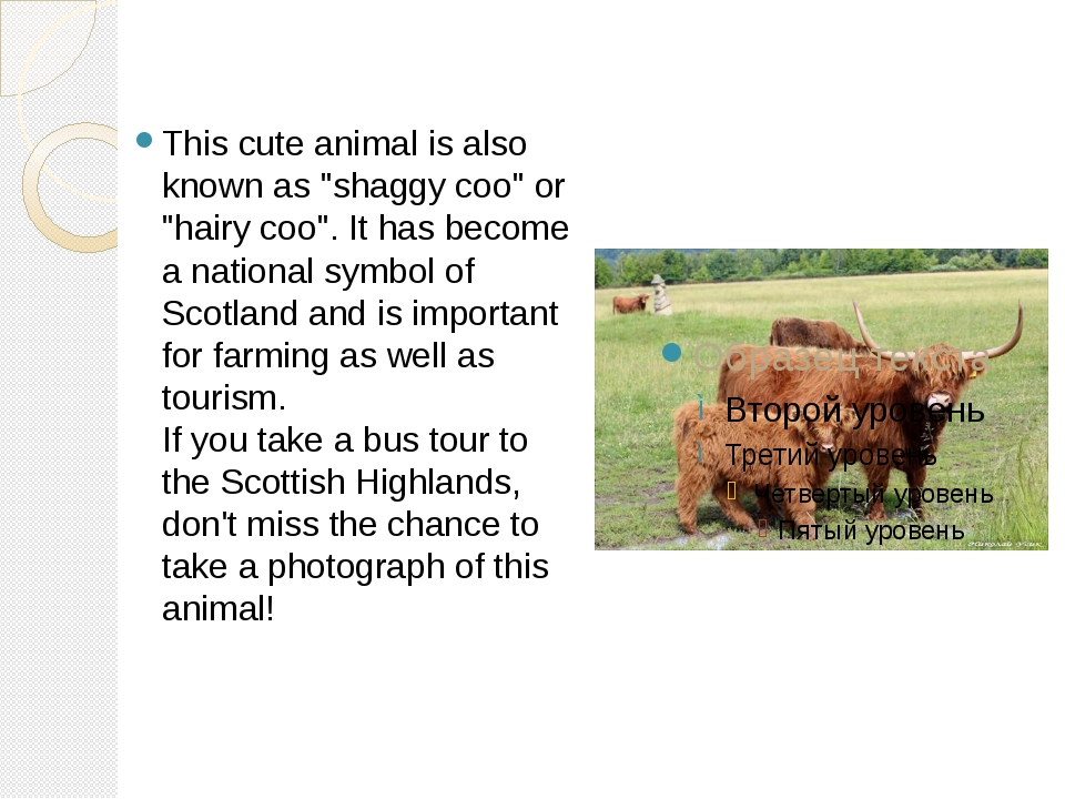 "This cute animal is also known as ""shaggy coo"" or ""hairy coo"". It has become..."