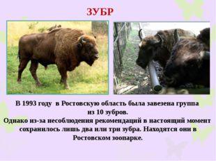ЗУБР В 1993 году в Ростовскую область была завезена группа из 10 зубров. Одна
