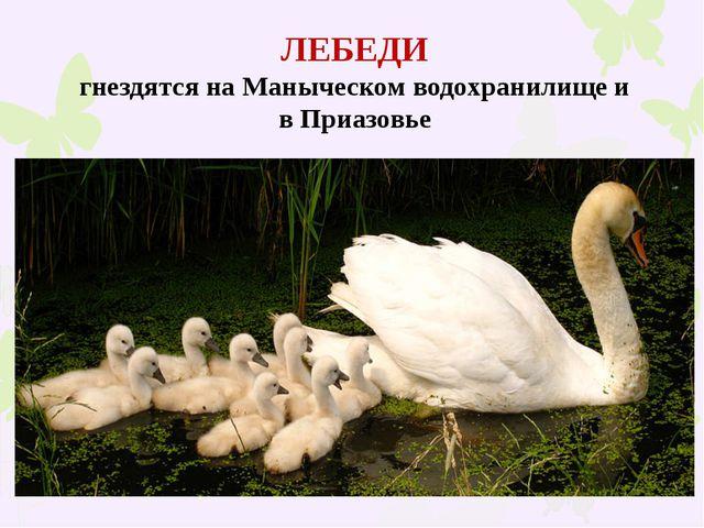 ЛЕБЕДИ гнездятся на Маныческом водохранилище и в Приазовье