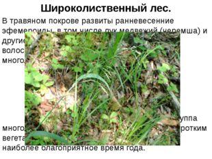 В травяном покрове развиты ранневесенние эфемероиды, в том числе лук медвежий