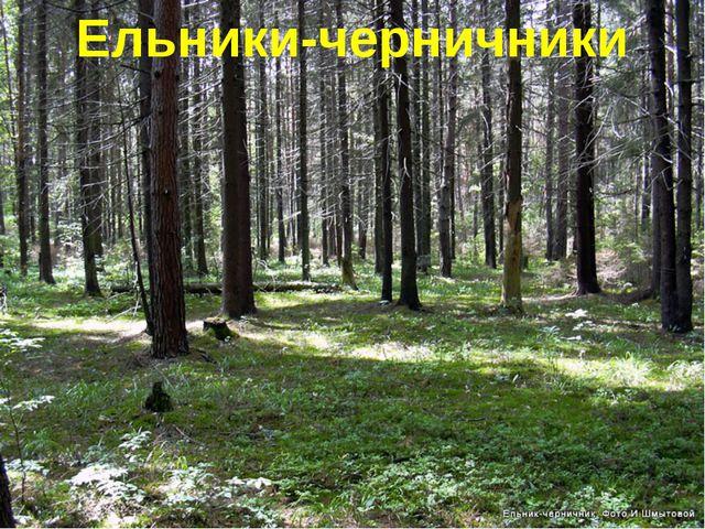 Ельники-черничники