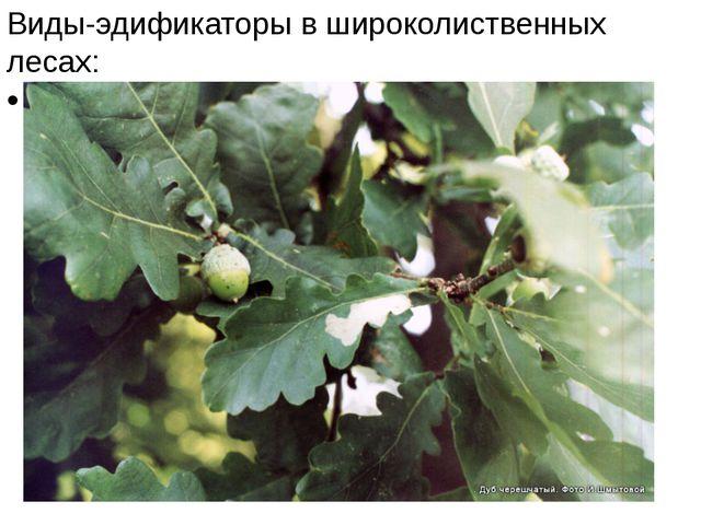Виды-эдификаторы в широколиственных лесах: дуб черешчатый,