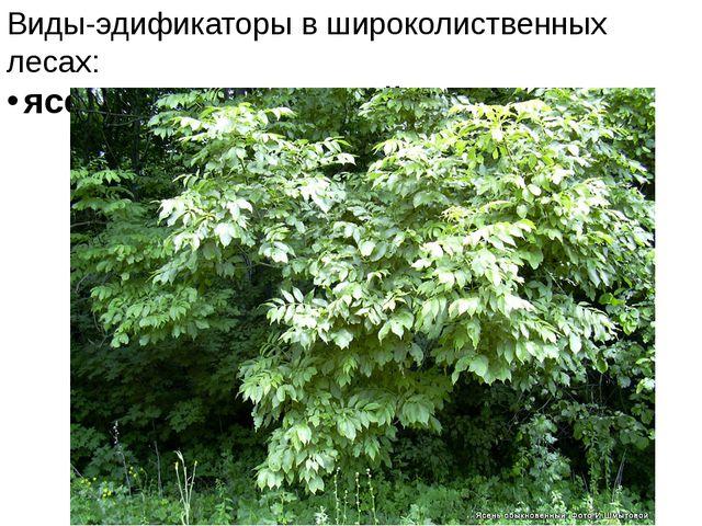Виды-эдификаторы в широколиственных лесах: ясень обыкновенный,