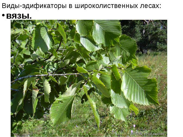 Виды-эдификаторы в широколиственных лесах: вязы.