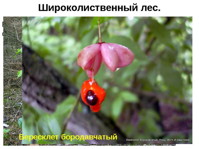 Развит ярус кустарников, состоящий из лещины обыкновенной, жимолости, берескл...