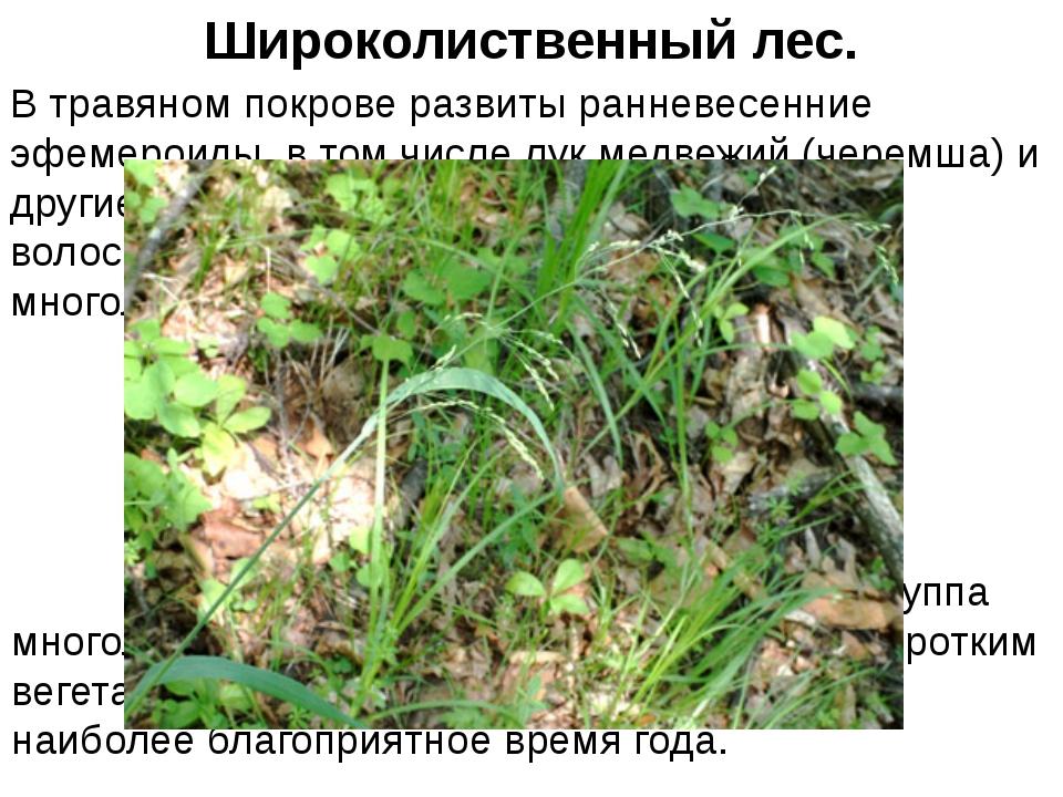 В травяном покрове развиты ранневесенние эфемероиды, в том числе лук медвежий...