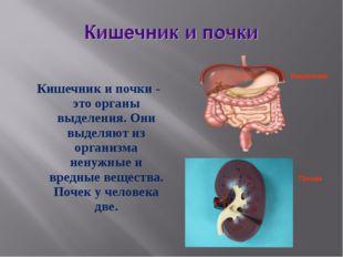 Кишечник и почки - это органы выделения. Они выделяют из организма ненужные