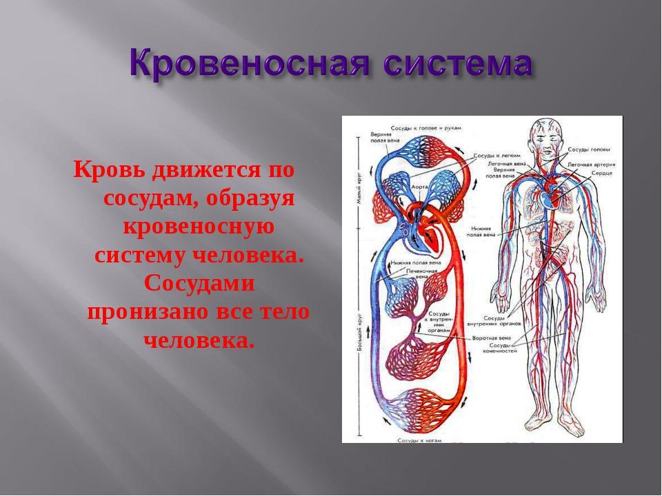 Кровь движется по сосудам, образуя кровеносную систему человека. Сосудами пр...