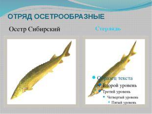 ОТРЯД ОСЕТРООБРАЗНЫЕ Осетр Сибирский Стерлядь