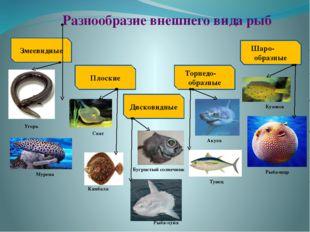 Разнообразие внешнего вида рыб Змеевидные Плоские Дисковидные Торпедо- образн