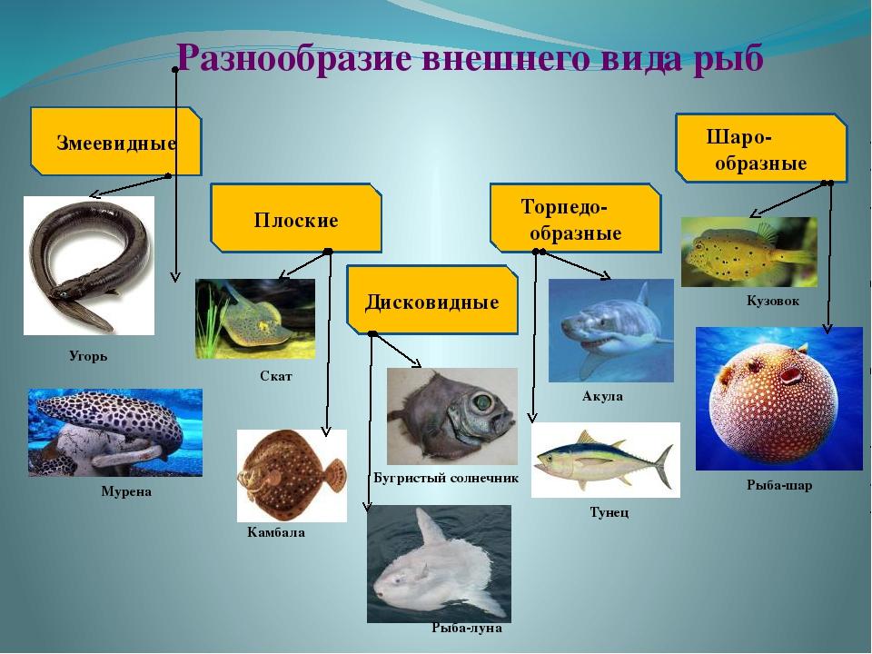 Разнообразие внешнего вида рыб Змеевидные Плоские Дисковидные Торпедо- образн...