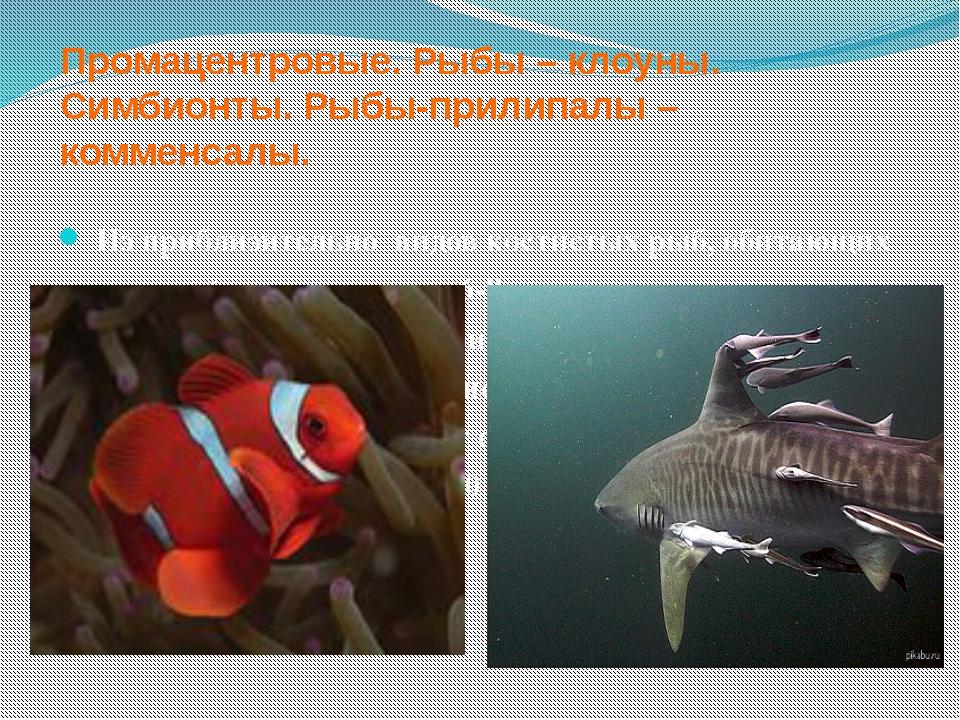 Промацентровые. Рыбы – клоуны. Симбионты. Рыбы-прилипалы – комменсалы. Из при...