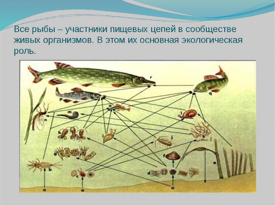 Все рыбы – участники пищевых цепей в сообществе живых организмов. В этом их о...