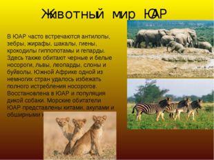 Животный мир ЮАР В ЮАР часто встречаются антилопы, зебры, жирафы, шакалы, гие