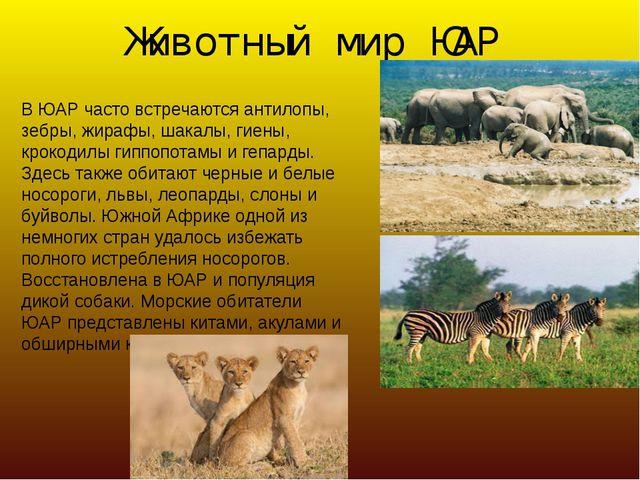 Животный мир ЮАР В ЮАР часто встречаются антилопы, зебры, жирафы, шакалы, гие...