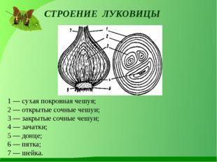 СТРОЕНИЕ ЛУКОВИЦЫ 1 — сухая покровная чешуя; 2 — открытые сочные чешуи; 3 —