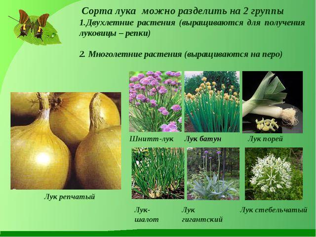 Сорта лука можно разделить на 2 группы Двухлетние растения (выращиваются для...