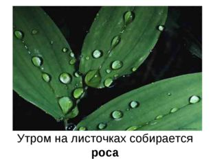 Утром на листочках собирается роса