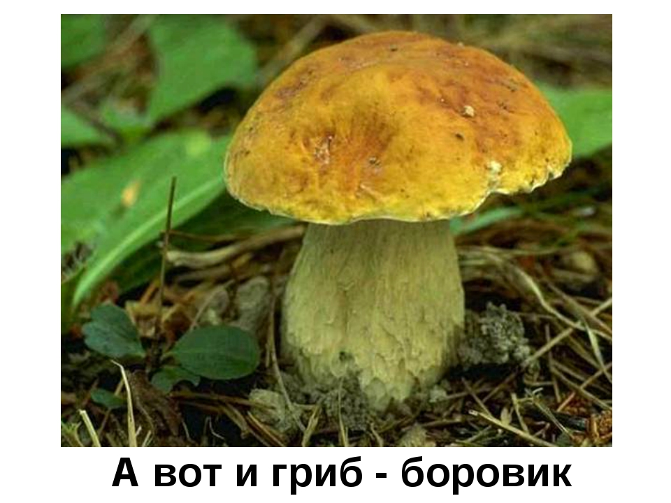 А вот и гриб - боровик