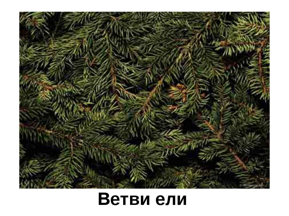 Ветви ели