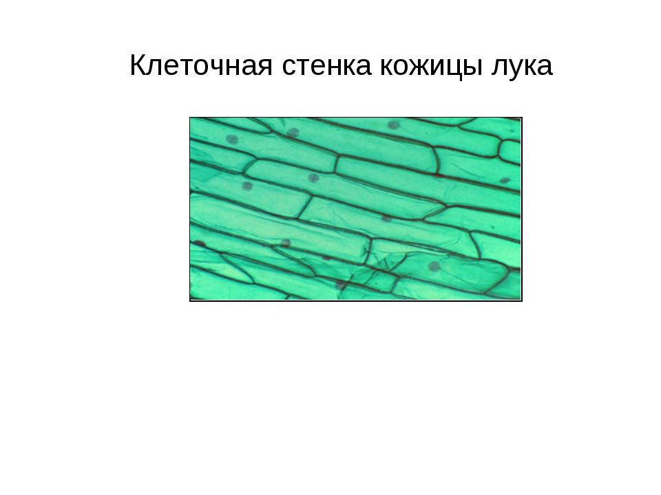 Клеточная стенка кожицы лука