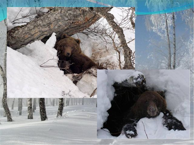 Летом ходит без дороги Возле сосен и берёз, А зимой он спит в берлоге, От мор...