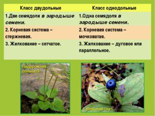 Класс двудольныеКласс однодольные 1.Две семядоли в зародыше семени.1.Одна с