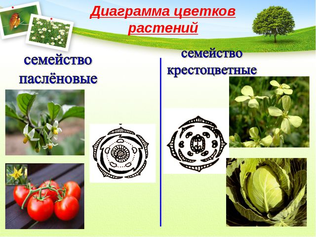 Диаграмма цветков растений