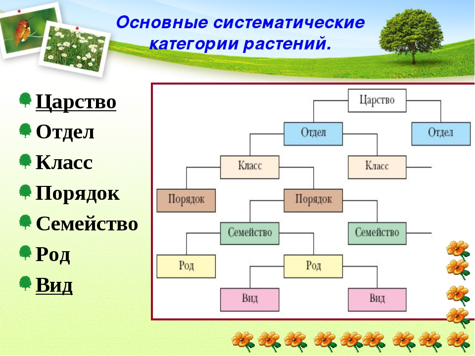 Основные систематические категории растений. Царство Отдел Класс Порядок Семе...