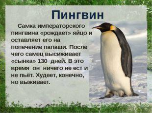 Пингвин Самка императорского пингвина «рождает» яйцо и оставляет его на попе