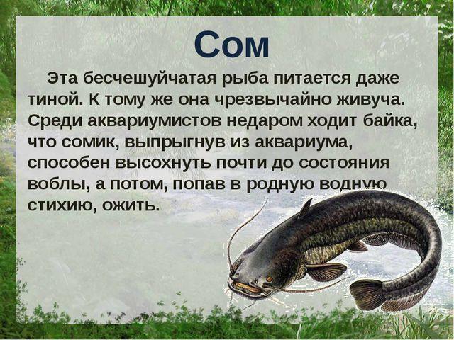 Сом Эта бесчешуйчатая рыба питается даже тиной. К тому же она чрезвычайно жи...